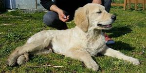 Cucciolo golden retriever con pedigree