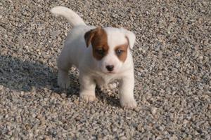Disponibili ultimi cuccioli jack russell terrier