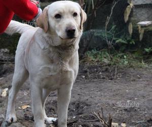 Labrador un anno e mezzo