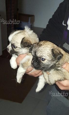Splendidi cuccioli di chiwawa a pelo lungo