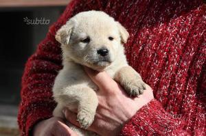Titti cucciola di 2 mesi simil pastore