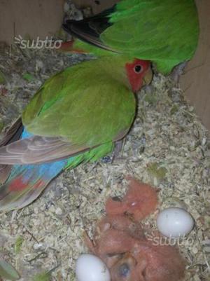 Allevamento amatoriale pappagalli