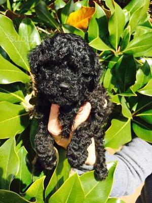Barboncino toy nero femmina