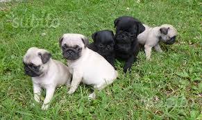 Carlini cuccioli 60 giorni