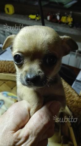 Chihuahua femmina 3 mesi miele minitoy
