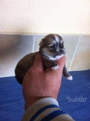 Chihuahua maschietto pelo lungo con pedigree