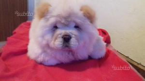 Cucciola di Chow Chow italiana