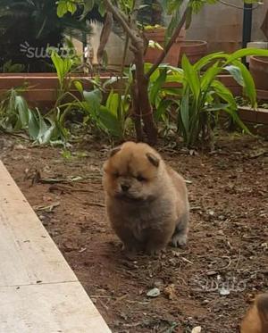 Cucciola di chow chow