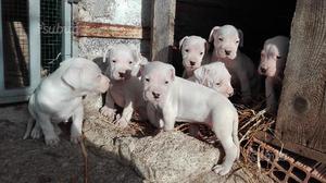 Cuccioli di dogo argentino