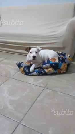 Cucciolo amstaff