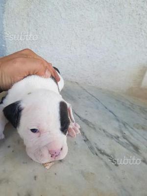 Cucciolo di Pitbull - Bianco e nero