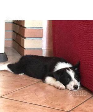 Cucciolo incrocio border collie