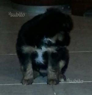 Cucciolo maschio 2 mesi futura taglia piccola