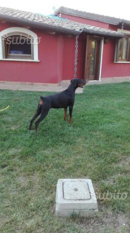 Cucciolona di dobermann di quasi due anni