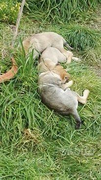 Disponibili cuccioli Cane Lupo Cecoslovacco (clc)