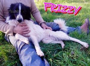 FRIZZY simil BORDER COLLIE