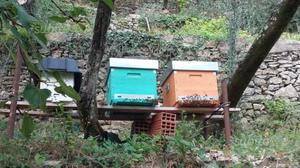 Nuclei di api su 5/6 telaini