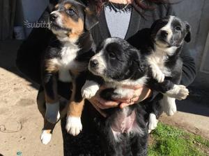 Regalo cuccioli meticci border con barboncino