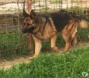 shaila, pastore tedesco 5 anni in adozione