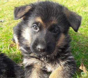Splendidi cuccioli di pastore tedesco