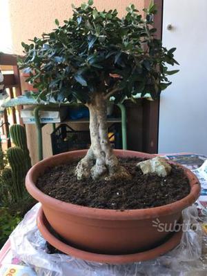 Vendo collezione bonsai posot class for Bonsai vendo