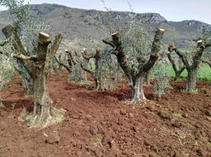 Piante di ulivo in vaso posot class - Siepe di ulivo ...