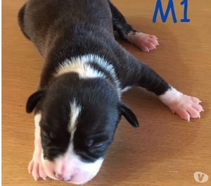 Vendita cuccioli di American Staffordshire terrier