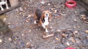Beagle di 3 anni