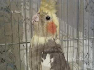 Calopsite pappagallo coppia canarini o cardellini