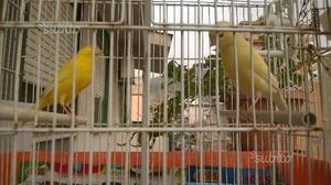 Canarini gialli, bianchi, avorio