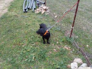cane da caccia longevità dachsbracke pronta caccia posot class