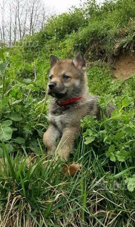 Cane lupo cecoslovacco cuccioli