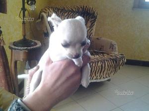 Chihuahua bianca femmina toy di 3 mesi