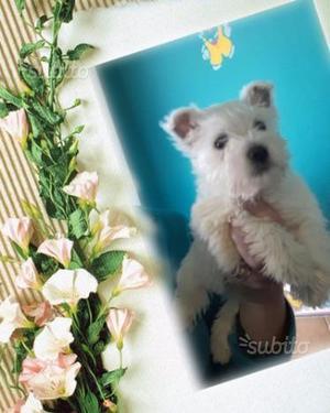 Cucciola femmina west higland white terrier