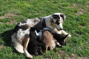 Cucciola pastore australiano