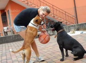 Cucciolata American Staffordshire terrier