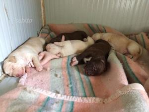 Cuccioli Pitbull Ukc