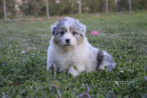 Cuccioli australian shepherd/pastore australiano