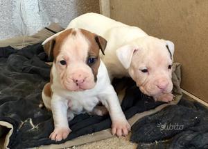 Cuccioli di Amstaff pedigree vaccini e microchip