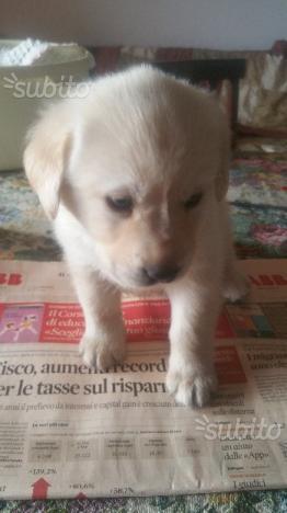 Cuccioli di Labrador Maschi Bianchi e Neri