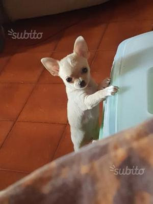 Cuccioli di chihuahua con pedigree enci