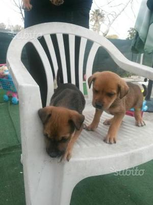 Cuccioli pincher