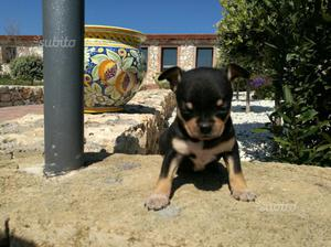 Cucciolo Chihuahua Femmina