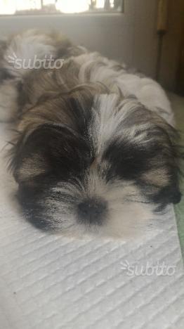 Cucciolo di Shitzu