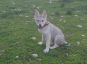Cucciolo lupo cecoslovacco