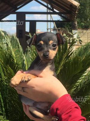 Cucciolo maschio pinscher