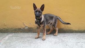 Cucciolo pastore tedesco da lavoro pedigree top