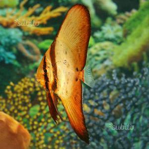 Platax pesce pipistrello acquario marino REGALO