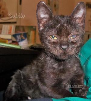 Regalo gattina di 3 mesi vaccinata
