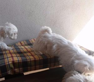 Ultimi cuccioli di maltese